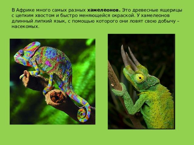 В Африке много самых разных хамелеонов. Это древесные ящерицы с цепким хвостом и быстро меняющейся окраской. У хамелеонов длинный липкий язык, с помощью которого они ловят свою добычу – насекомых.