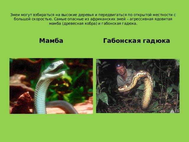Змеи могут взбираться на высокие деревья и передвигаться по открытой местности с большой скоростью. Самые опасные из африканских змей – агрессивная ядовитая мамба (древесная кобра) и габонская гадюка.   Мамба Габонская гадюка