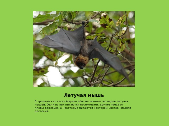 Летучая мышь В тропических лесах Африки обитает множество видов летучих мышей. Одни из них питаются насекомыми, другие поедают плоды деревьев, а некоторые питаются нектаром цветов, опыляя растения.