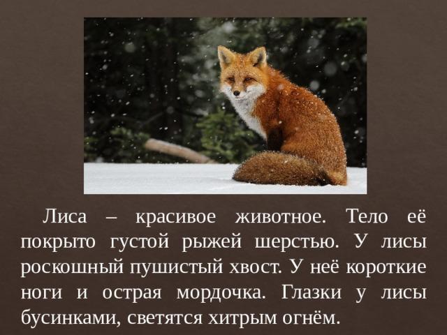 Лиса – красивое животное. Тело её покрыто густой рыжей шерстью. У лисы роскошный пушистый хвост. У неё короткие ноги и острая мордочка. Глазки у лисы бусинками, светятся хитрым огнём.
