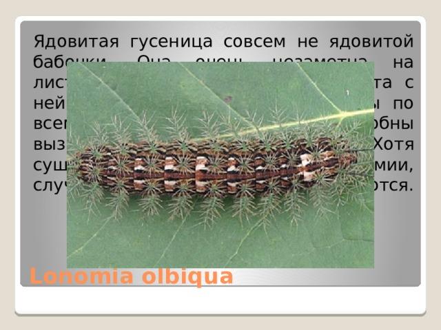 Ядовитая гусеница совсем не ядовитой бабочки. Она очень незаметна на листьях и деревьях. После контакта с ней у людей появляются гематомы по всему телу, которые позже способны вызвать кровоизлияние в мозг. Хотя существует лекарство от яда лономии, случаи смерти до сих пор продолжаются. Lonomia olbiqua