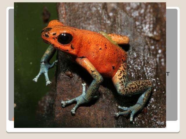 Древолазы – лягушки, которые живут в тропических лесах Центральной и Южной Америки. Через кожу они выделяют очень ядовитое вещество. Индейцы до сих пор ловят древолазов для сбора их яда. Яда одной особи хватает, чтобы обработать наконечники полсотни стрел! Даже легко раненый ягуар или олень быстро погибают от такой стрелы. Одна такая жаба может легко убить 10 людей. Древолазы