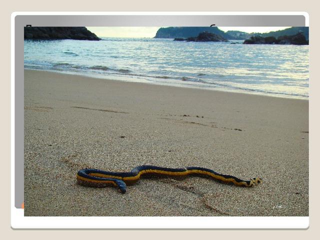 Двухцветная пеламида − наиболее приспособленная к морскому образу жизни и одна из самых ядовитых для человека змей в мире! Заселяет почти все тропические и субтропические моря Индийского и Тихого океанов. В Атлантическом океане ее нет. Она не агрессивна, но если человек побеспокоит пеламиду, то своим ядом она способна легко его убить. Двухцветная пеламида