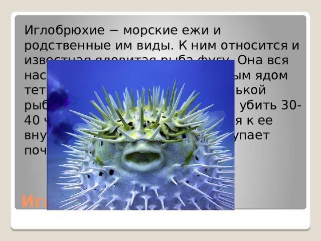 Иглобрюхие − морские ежи и родственные им виды. К ним относится и известная ядовитая рыба фугу. Она вся насквозь пропитана смертельным ядом тетродотоксином. Одной маленькой рыбки будет достаточно, чтобы убить 30-40 человек. А если прикоснуться к ее внутренностям, то смерть наступает почти сразу. Иглобрюхие