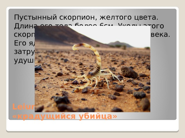 Пустынный скорпион, желтого цвета. Длина его тела более 6см. Уколы этого скорпиона самые опасные для человека. Его яд вызывает ужасную боль, затруднение дыхание и смерть от удушья. Leiurus quinquestriatus «крадущийся убийца»