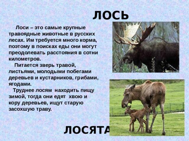ЛОСЬ  Лоси – это самые крупные травоядные животные в русских лесах. Им требуется много корма, поэтому в поисках еды они могут преодолевать расстояния в сотни километров.  Питается зверь травой, листьями, молодыми побегами деревьев и кустарников, грибами, ягодами.  Труднее лосям находить пищу зимой, тогда они едят хвою и кору деревьев, ищут старую засохшую траву. ЛОСЯТА