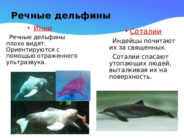 Речные дельфины Инии  Речные дельфины плохо видят. Ориентируются с помощью отраженного ультразвука. Соталии  Индейцы почитают их за священных.  Соталии спасают утопающих людей, выталкивая их на поверхность.