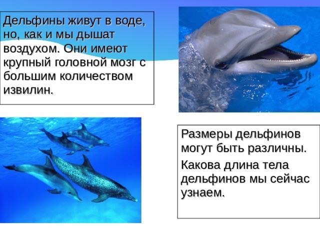 Дельфины живут в воде, но, как и мы дышат воздухом. Они имеют крупный головной мозг с большим количеством извилин. Размеры дельфинов могут быть различны. Какова длина тела дельфинов мы сейчас узнаем.
