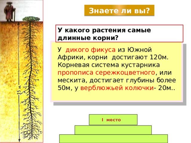 Знаете ли вы? У какого растения самые длинные корни? У дикого фикуса  из Южной Африки, корни достигают 120м. Корневая система кустарника пропописа сережкоцветного , или мескита, достигает глубины более 50м, у верблюжьей  колючки - 20м.. I место