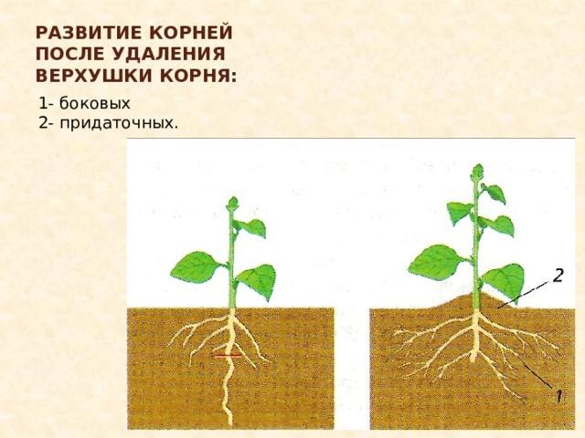 Развитие корней после удаления верхушки корня: 1- боковых 2- придаточных.