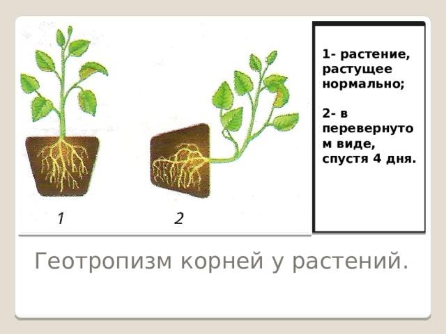 1- растение, растущее нормально;  2- в перевернутом виде, спустя 4 дня.  Геотропизм корней у растений.