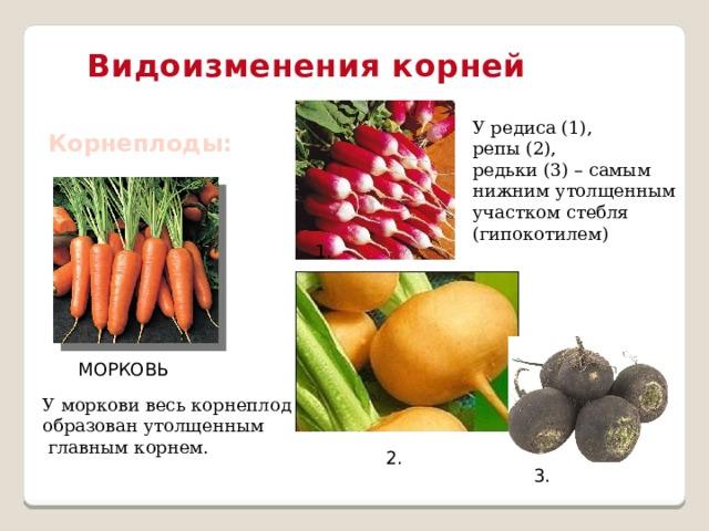 Видоизменения корней У редиса (1), репы (2), редьки (3) – самым нижним утолщенным участком стебля (гипокотилем) Корнеплоды: 1. МОРКОВЬ У моркови весь корнеплод образован утолщенным  главным корнем. 2. 3.