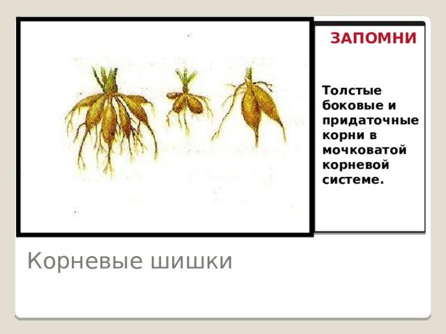 ЗАПОМНИ Толстые боковые и придаточные корни в мочковатой корневой Толстые боковые и придаточные корни в мочковатой корневой системе. Корневые шишки