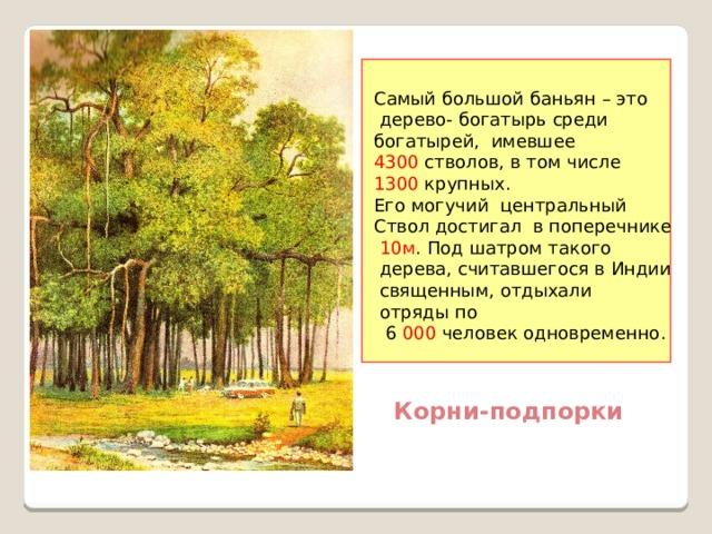 Самый большой баньян – это  дерево- богатырь среди богатырей, имевшее 4300 стволов, в том числе 1300 крупных. Его могучий центральный Ствол достигал в поперечнике  10м . Под шатром такого  дерева, считавшегося в Индии  священным, отдыхали  отряды по  6 000 человек одновременно. Корни-подпорки