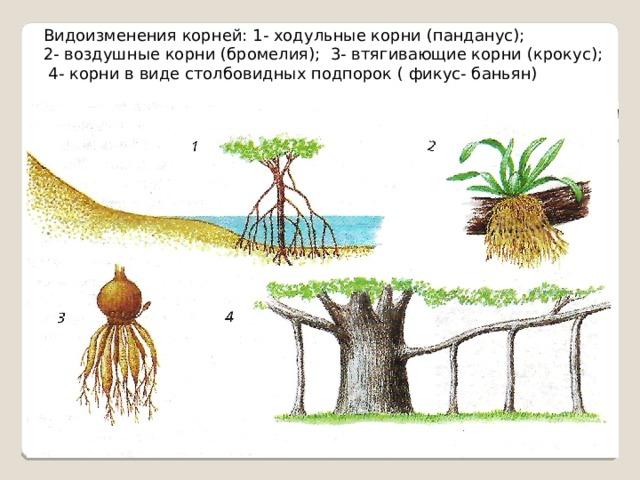 Видоизменения корней: 1- ходульные корни (панданус); 2- воздушные корни (бромелия); 3- втягивающие корни (крокус);  4- корни в виде столбовидных подпорок ( фикус- баньян)