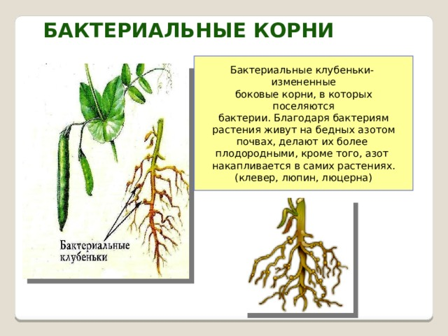 Бактериальные корни Бактериальные клубеньки- измененные  боковые корни, в которых поселяются бактерии. Благодаря бактериям растения живут на бедных азотом почвах, делают их более плодородными, кроме того, азот накапливается в самих растениях. (клевер, люпин, люцерна)