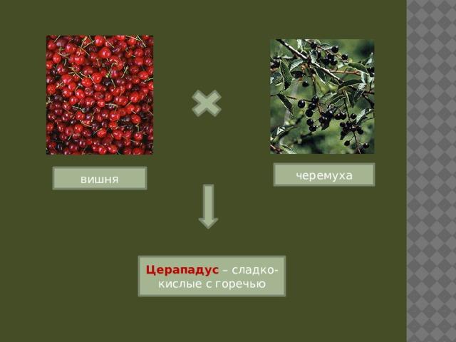 черемуха вишня Церападус – сладко-кислые с горечью