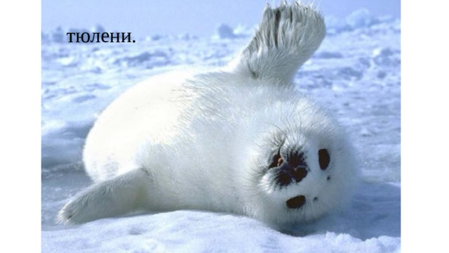 тюлени.