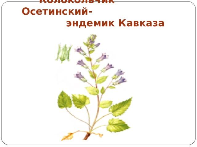 Колокольчик Осетинский-  эндемик Кавказа