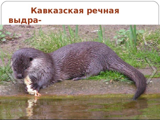 Кавказская речная выдра-  находится на грани исчезновения