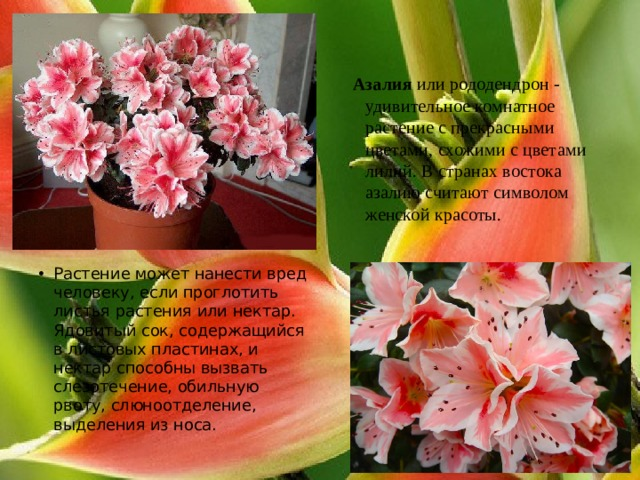 Азалия или рододендрон - удивительное комнатное растение с прекрасными цветами, схожими с цветами лилий. В странах востока азалию считают символом женской красоты.
