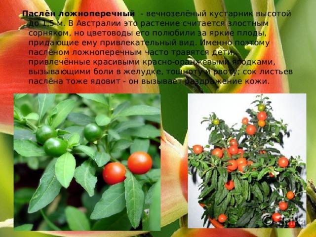 Паслён ложноперечный  - вечнозелёныйкустарниквысотой до 1,5 м. В Австралии это растение считается злостным сорняком, но цветоводы его полюбили за яркие плоды, придающие ему привлекательный вид. Именно поэтому паслёном ложноперечным часто травятся дети, привлечённые красивыми красно-оранжевыми ягодками, вызывающими боли в желудке, тошноту и рвоту; сок листьев паслёна тоже ядовит - он вызывает раздражение кожи.