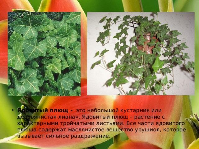Ядовитый плющ - это небольшой кустарник или деревянистая лиана». Ядовитый плющ – растение с характерными тройчатыми листьями. Все части ядовитого плюща содержат маслянистое вещество урушиол, которое вызывает сильное раздражение.