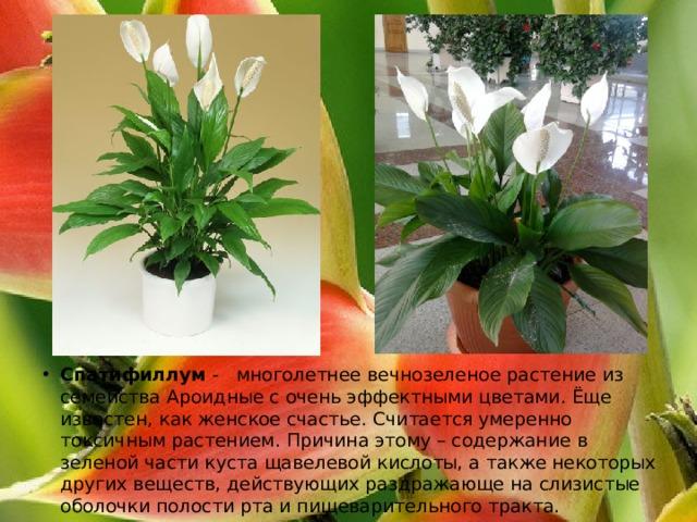 Спатифиллум -  многолетнее вечнозеленое растение из семейства Ароидные с очень эффектными цветами. Ёще известен, как женское счастье. Считается умеренно токсичным растением. Причина этому – содержание в зеленой части куста щавелевой кислоты, а также некоторых других веществ, действующих раздражающе на слизистые оболочки полости рта и пищеварительного тракта.