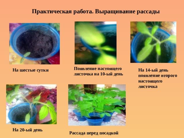 Практическая работа. Выращивание рассады Появление настоящего листочка на 10-ый день На шестые сутки На 14-ый день появление второго настоящего листочка На 20-ый день Рассада перед посадкой