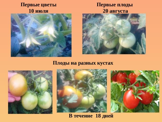 Первые плоды  20 августа Первые цветы  10 июля    Плоды на разных кустах В течение 18 дней