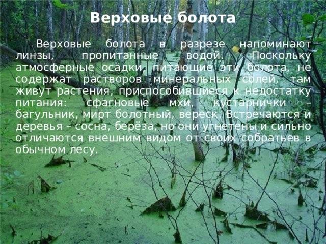 Верховые болота   Верховые болота в разрезе напоминают линзы, пропитанные водой. Поскольку атмосферные осадки, питающие эти болота, не содержат растворов минеральных солей, там живут растения, приспособившиеся к недостатку питания: сфагновые мхи, кустарнички – багульник, мирт болотный, вереск. Встречаются и деревья – сосна, берёза, но они угнетены и сильно отличаются внешним видом от своих собратьев в обычном лесу.