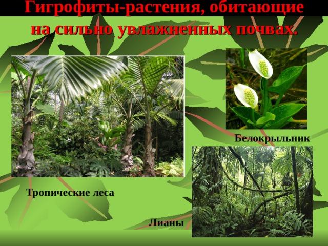 Гигрофиты-растения, обитающие на сильно увлажненных почвах.    Белокрыльник Тропические леса Лианы