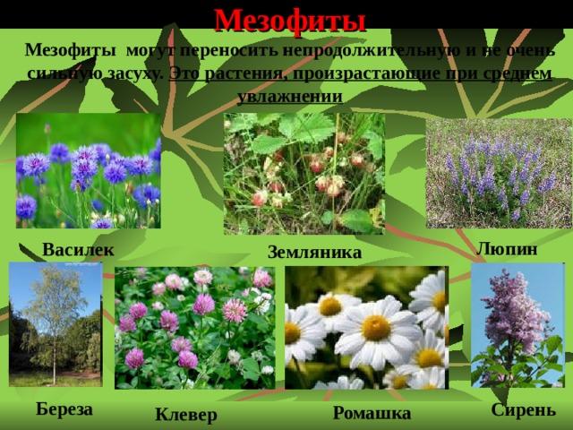 Мезофиты  Мезофиты могут переносить непродолжительную и не очень сильную засуху. Это растения, произрастающие при среднем увлажнении Люпин Василек Земляника  Береза  Сирень  Ромашка  Клевер