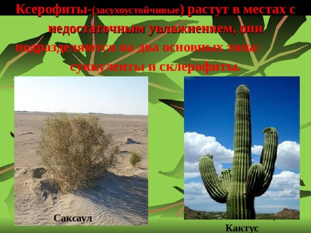 Ксерофиты- (засухоустойчивые ) растут в местах с недостаточным увлажнением, они подразделяются на два основных типа: суккуленты и склерофиты.   Саксаул  Кактус