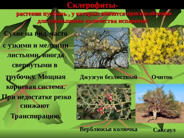 Склерофиты-  растения пустынь , у которых имеются приспособления для уменьшения количества испарения  Сухие на вид, часто с узкими и мелкими листьями, иногда свернутыми в трубочку. Мощная корневая система.  При недостатке резко снижают Транспирацию. Джузгун безлистный Очиток  Верблюжья колючка Саксаул