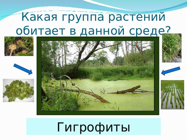 Какая группа растений обитает в данной среде? Гигрофиты