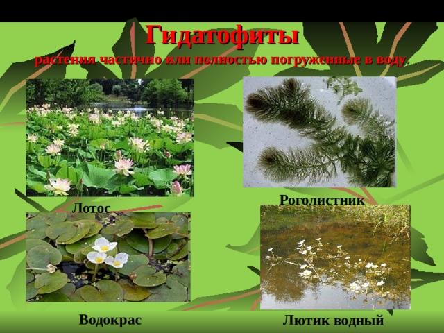 Гидатофиты  растения частично или полностью погруженные в воду . Роголистник  Лотос  Водокрас Лютик водный