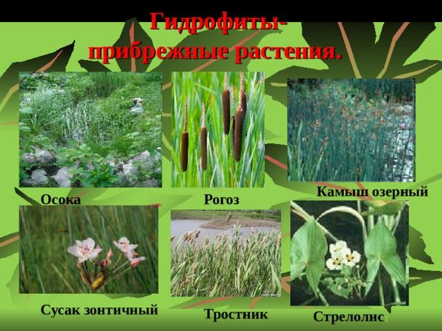 Гидрофиты-  прибрежные растения. Камыш озерный Осока Рогоз  Сусак зонтичный Тростник Стрелолис т