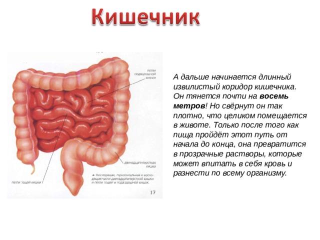 А дальше начинается длинный извилистый коридор кишечника. Он тянется почти на восемь метров ! Но свёрнут он так плотно, что целиком помещается в животе. Только после того как пища пройдёт этот путь от начала до конца, она превратится в прозрачные растворы, которые может впитать в себя кровь и разнести по всему организму.