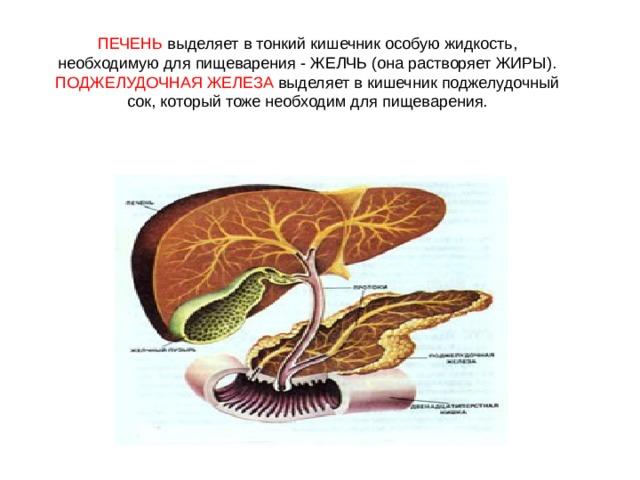 ПЕЧЕНЬ выделяет в тонкий кишечник особую жидкость, необходимую для пищеварения - ЖЕЛЧЬ (она растворяет ЖИРЫ). ПОДЖЕЛУДОЧНАЯ ЖЕЛЕЗА выделяет в кишечник поджелудочный сок, который тоже необходим для пищеварения.