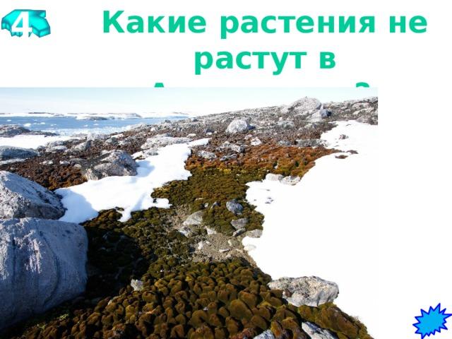 4 Какие растения не растут в Антарктиде?   Мхи, лишайники, черника, низшие водоросли, карликовые березы;.