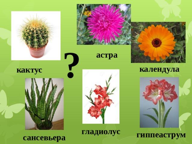 ? астра календула кактус 1.Растение, похоже на ежика. 2.Этот цветок называют звездой. 3. Лекарственное растение. 4.В народе его называют «Щучий хвост»5.Название этого цветка означает «меч». 6. «Кавалер со звездой». На какие две группы можно разделить цветы? гладиолус гиппеаструм сансевьера