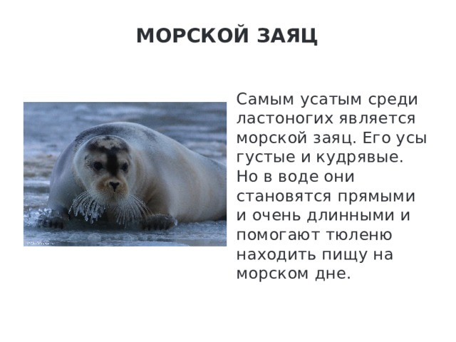 Морской заяц   Самым усатым среди ластоногих является морской заяц. Его усы густые и кудрявые. Но в воде они становятся прямыми и очень длинными и помогают тюленю находить пищу на морском дне.