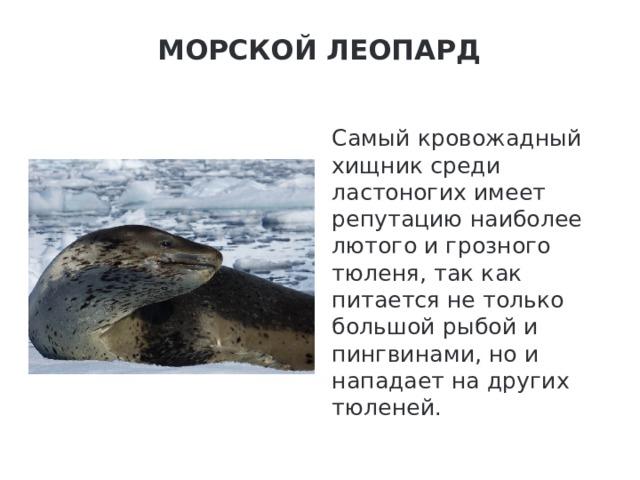 Морской леопард   Самый кровожадный хищник среди ластоногих имеет репутацию наиболее лютого и грозного тюленя, так как питается не только большой рыбой и пингвинами, но и нападает на других тюленей.