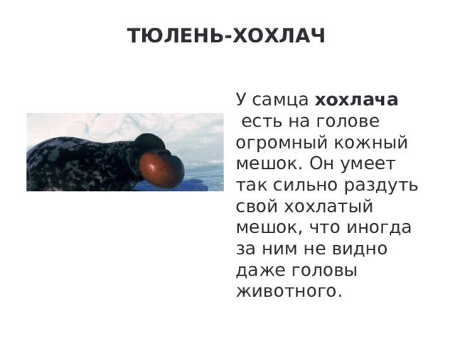 Тюлень-хохлач   У самца хохлача есть на голове огромный кожный мешок. Он умеет так сильно раздуть свой хохлатый мешок, что иногда за ним не видно даже головы животного.