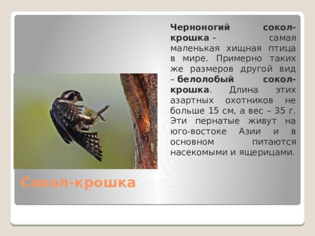Черноногий сокол-крошка – самая маленькая хищная птица в мире. Примерно таких же размеров другой вид – белолобый сокол-крошка . Длина этих азартных охотников не больше 15 см, а вес – 35 г. Эти пернатые живут на юго-востоке Азии и в основном питаются насекомыми и ящерицами. Сокол-крошка