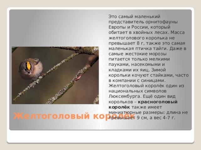 Это самый маленький представитель орнитофауны Европы и России, который обитает в хвойных лесах. Масса желтоголового королька не превышает 8 г, также это самая маленькая птичка тайги. Даже в самые жестокие морозы питается только мелкими пауками, насекомыми и кладками их яиц. Зимой корольки кочуют стайками, часто в компании с синицами. Желтоголовый королёк один из национальных символов Люксембурга. Ещё один вид корольков – красноголовый королёк также имеет миниатюрные размеры: длина не превышает 9 см, а вес 4-7 г.  Желтоголовый королёк