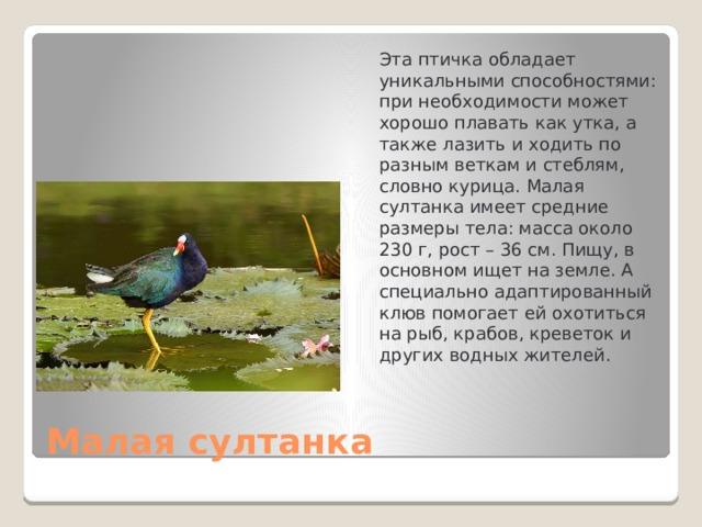 Эта птичка обладает уникальными способностями: при необходимости может хорошо плавать как утка, а также лазить и ходить по разным веткам и стеблям, словно курица. Малая султанка имеет средние размеры тела: масса около 230 г, рост – 36 см. Пищу, в основном ищет на земле. А специально адаптированный клюв помогает ей охотиться на рыб, крабов, креветок и других водных жителей.  Малая султанка