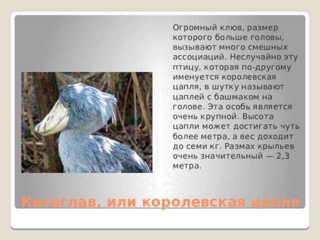 Огромный клюв, размер которого больше головы, вызывают много смешных ассоциаций. Неслучайно эту птицу, которая по-другому именуется королевская цапля, в шутку называют цаплей с башмаком на голове. Эта особь является очень крупной. Высота цапли может достигать чуть более метра, а вес доходит до семи кг. Размах крыльев очень значительный — 2,3 метра. Китоглав, или королевская цапля