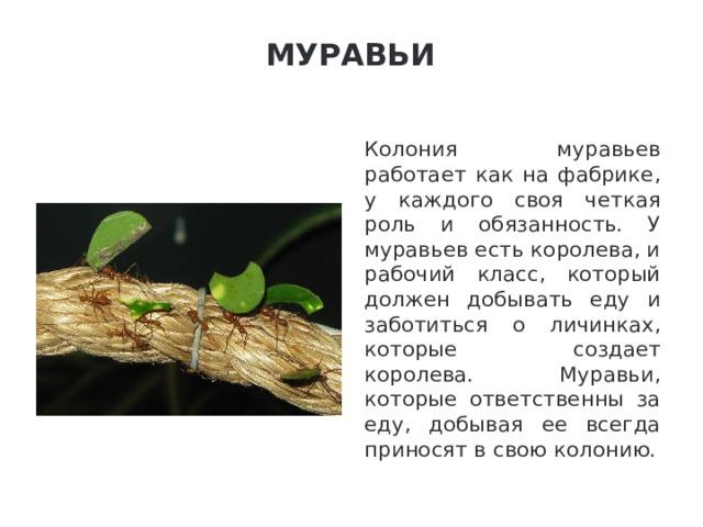 Муравьи   Колония муравьев работает как на фабрике, у каждого своя четкая роль и обязанность. У муравьев есть королева, и рабочий класс, который должен добывать еду и заботиться о личинках, которые создает королева. Муравьи, которые ответственны за еду, добывая ее всегда приносят в свою колонию.